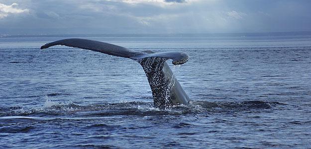 Una ballena se sumerge en el océano en las costas de Quebec, en Canadá.