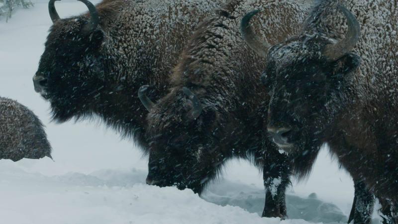 Los bisontes europeos soportan el invierno gracias a su denso abrigo de piel