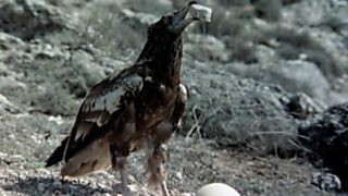 El hombre y la Tierra (Fauna ibérica) - El buitre sabio