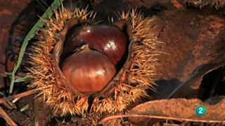 El bosque protector - Castaño: bosque de madera