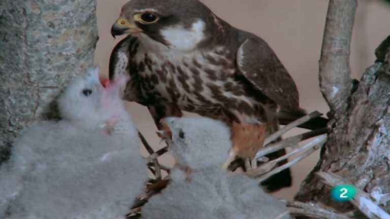 El hombre y la Tierra (Fauna ibérica) - Los pequeños cazadores alados 1 (El alcotán)