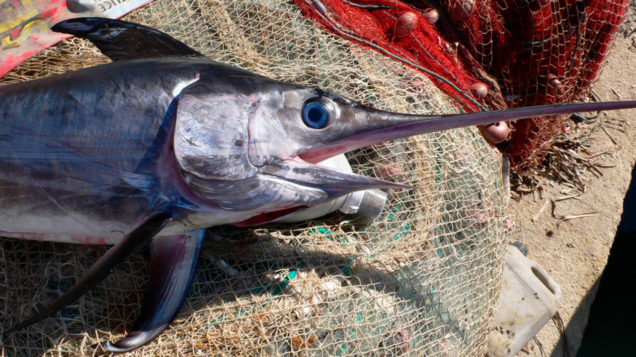 El pez espada del mediterr neo est al borde del colapso - Fotos de peces del mediterraneo ...