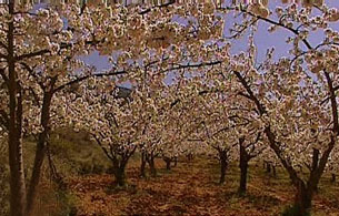 España Directo - Y el cerezo floreció