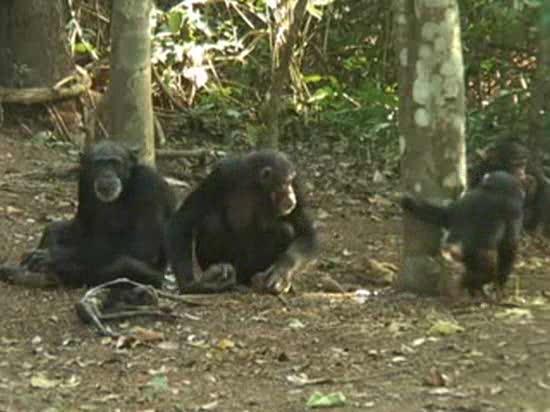 Los chimpancés lloran la muerte de sus seres queridos