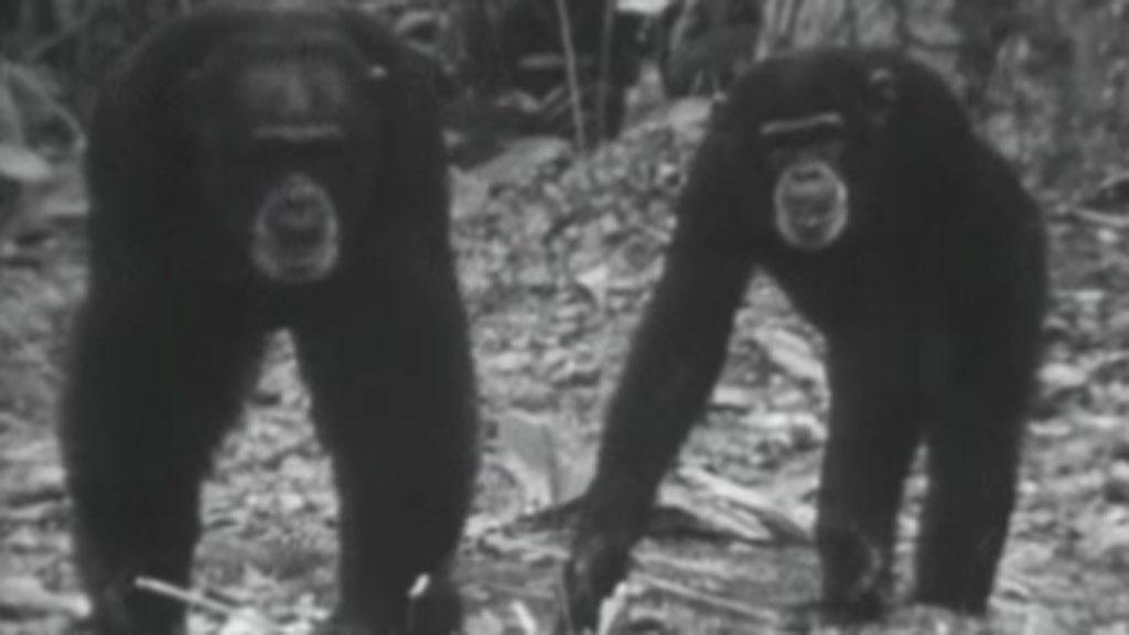 El planeta azul - Los chimpancés (I)