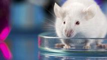 Ir al VideoCientíficos del CNIO logran que las células del cáncer dejen de ser 'inmortales' en ratones