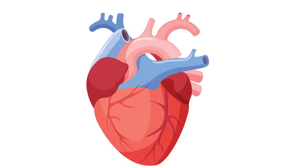 Científicos españoles averiguan por qué el corazón se ubica en el lado izquierdo