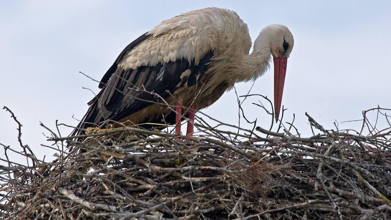 Una cigüeña blanca en su nido