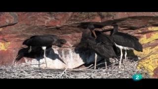 El bosque protector - Cigüeña negra