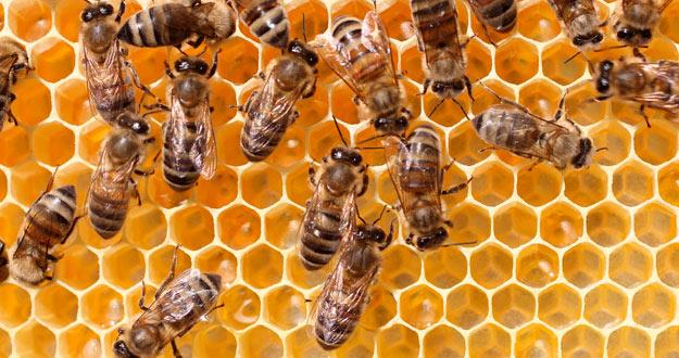 El colapso de colonias es una gran amenaza para las abejas en todo el mundo.