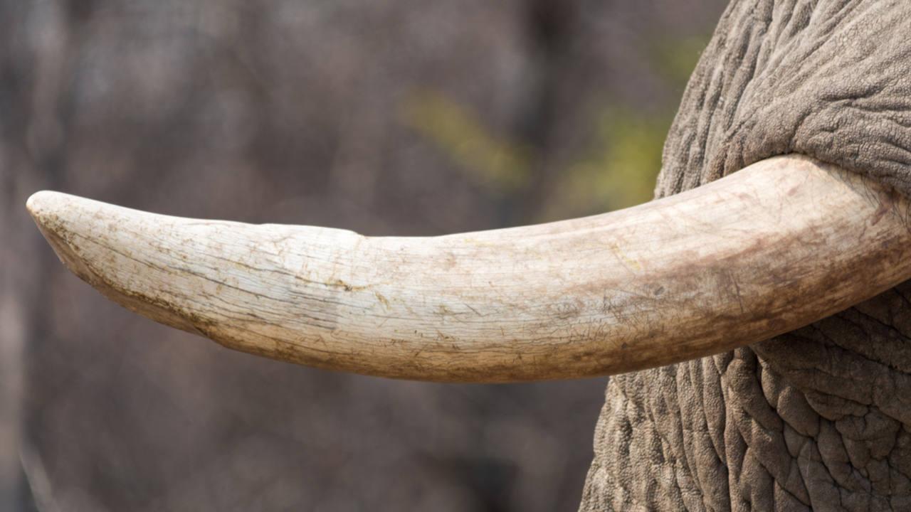 Los colmillos del elefante son en realidad sus incisivos.