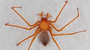 Descubren una nueva familia de  araña en cuevas del noroeste del Pacífico