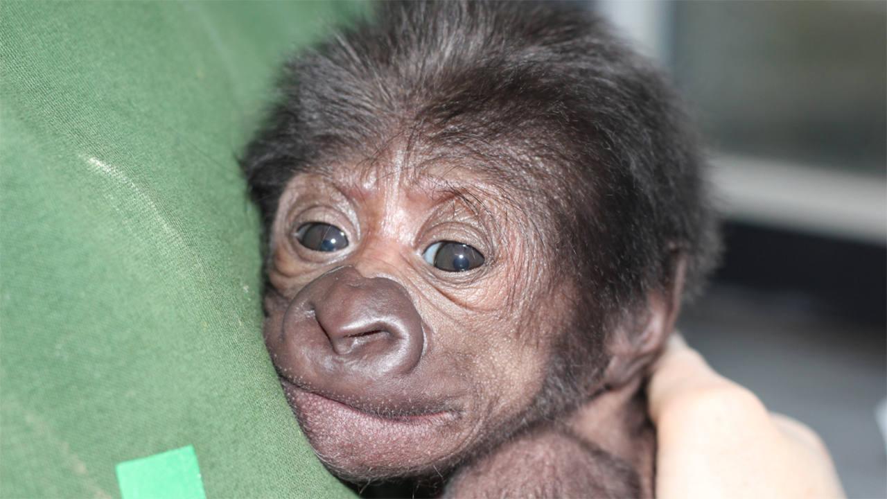 Desde primeras horas se aseguró el contacto piel con piel con la pequeña gorila.