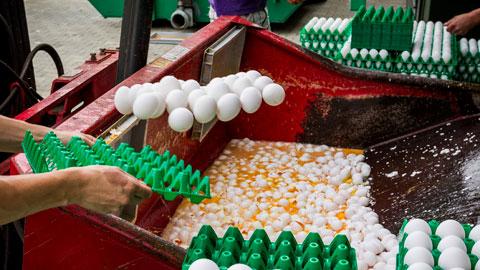 Detectan en España una partida de veinte toneladas de huevo líquido contaminada con fipronil
