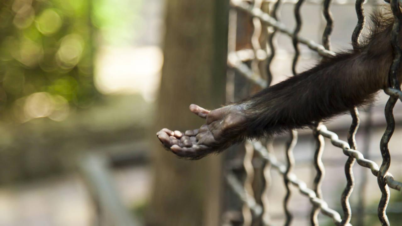 EEUU declaró a los chimpancés en cautiverio como especie en peligro de extinción.