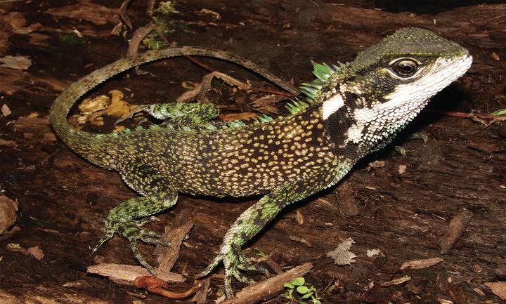 Un ejemplar macho de uno de los lagartos de bosque descubierto, el Enyalioides sophiarothschildae.