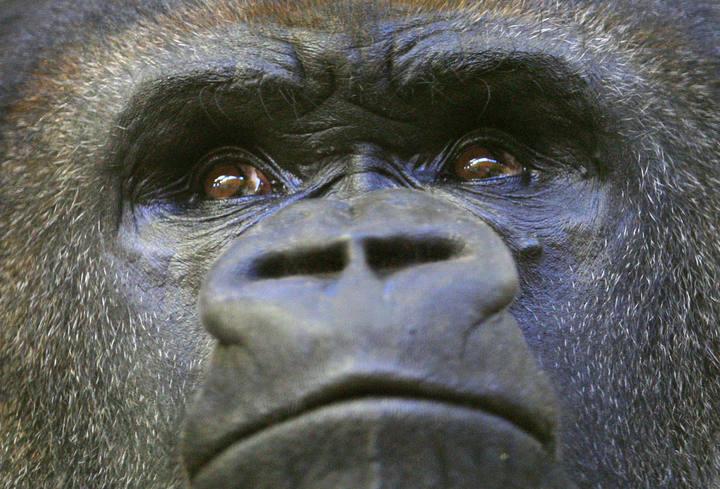 La endogamia ha hecho desaparecer variantes genéticas nocivas en los gorilas de montaña