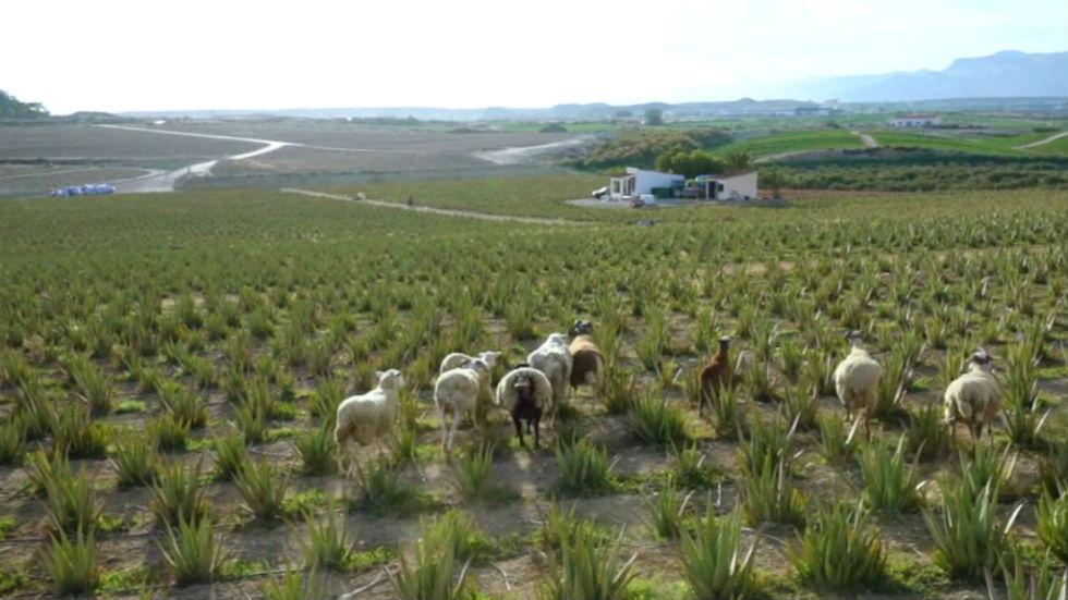 Aquí la tierra - Entre aloe vera y ovejas