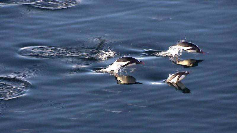 La entrega muestra investigaciones sobre pingüinos llevadas a cabo por los biólogos del Museo Nacional de Ciencias Naturales