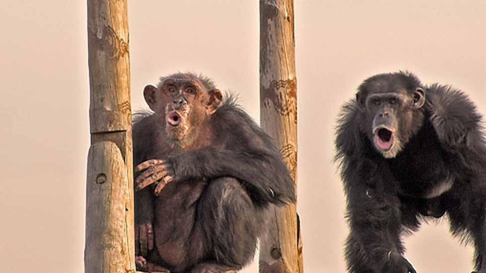 El esfuerzo de 'salvar' a un primate