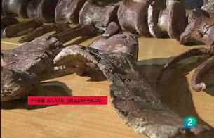 """Encuentran el que podría ser el """"eslabón perdido"""" de los dinosaurios"""