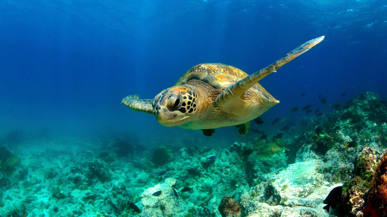 Estados Unidos incluyó a la tortuga verde en el listado federal de especies amenazadas.