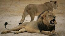 Ir al VideoEl estadounidense que mató a Cecil, uno de los leones más emblemáticos de Zimbabwe, asegura que todo fue legal