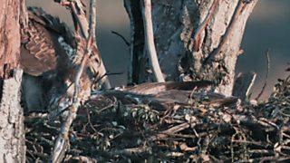 El bosque protector - Fauna amenazada: Águila perdicera