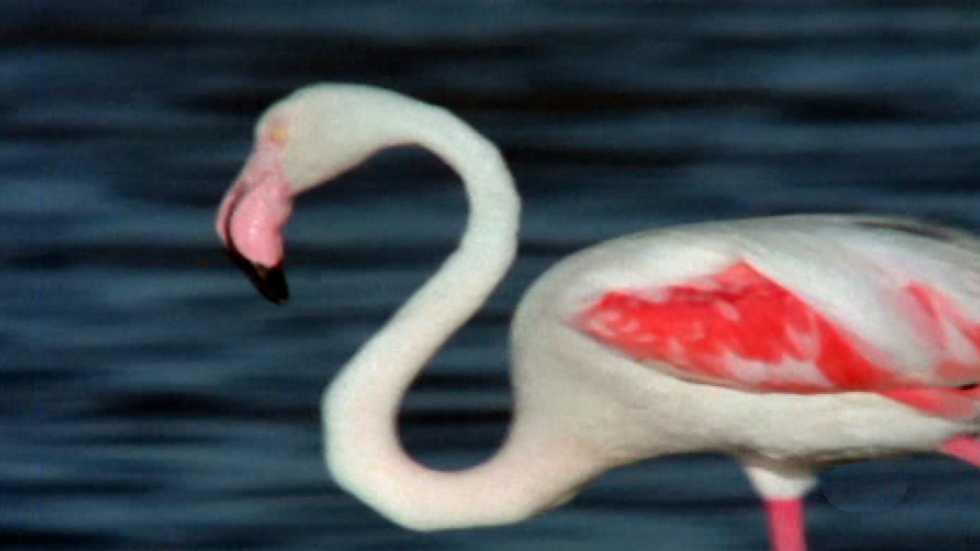 El hombre y la Tierra (Fauna ibérica) - Los flamencos