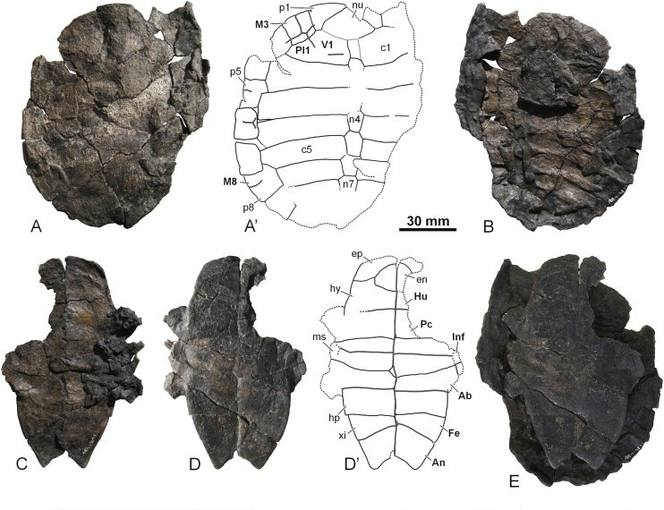 El fósil de la nueva especie de tortuga de agua dulce hallada en Teruel.