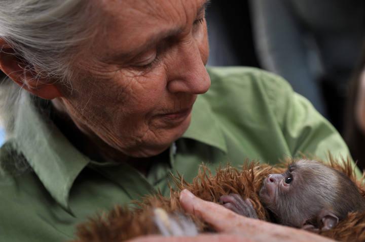 Foto de archivo de la primatóloga Jane Goodall con un mono Cariblanco.