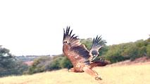 Ir al VideoUn GPS que monitoriza la actividad de las águilas podría solucionar su alta mortandad por envenenamiento