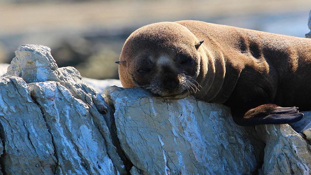 Lobos marinos: La lucha por la supervivencia