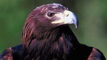 El Rey de las montañas: El águila real