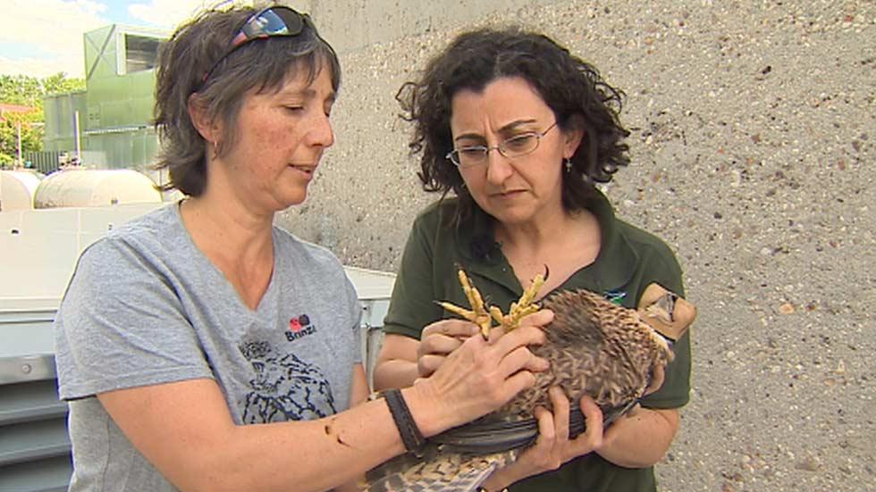 Los halcones se 'mudan' a la gran ciudad