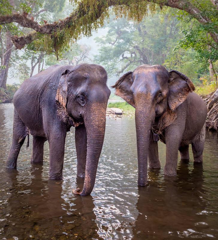 Las hembras de elefante asiático carecen de colmillos.