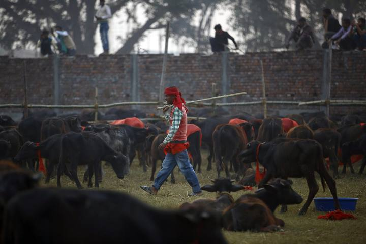 "A herder works inside an enclosure for buffalos awaiting sacrifice on the eve of the sacrificial ceremony for the ""Gadhimai Mela"" festival in Bariyapur"