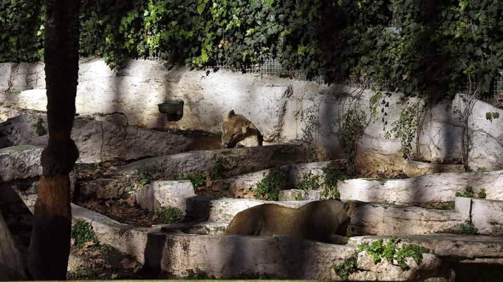 Un hombre herido al saltar al foso de los leones en el zoo de Barcelona