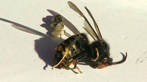 Ir al VideoUn hombre muere en Pontevedra tras ser atacado por un enjambre de avispas asiáticas