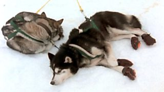 El hombre y la tierra (Serie canadiense) - Iditarod, 1000 millas sobre hielo