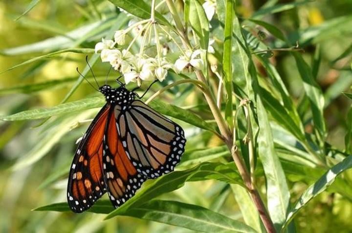 Imagen de una mariposa monarca.