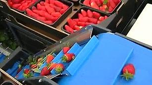 Investigadores andaluces diseñan un robot para recoger fresas
