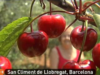 España Directo - Ladrones de cerezas
