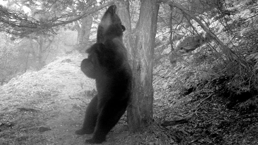 Liberan un oso pardo esloveno en el Pirineo