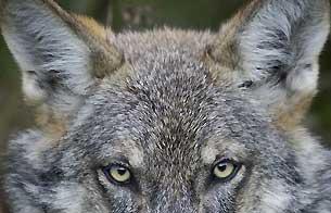 El lobo ibérico prefiere los animales salvajes a las ovejas