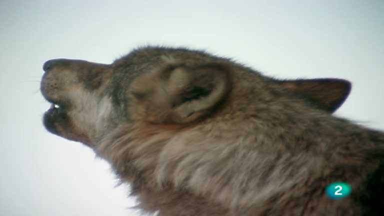 El hombre y la Tierra (Fauna ibérica) - El lobo