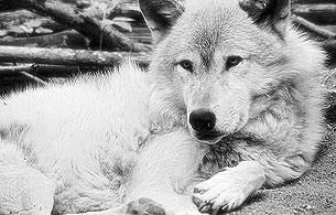 30 años sin Félix - Félix y los lobos