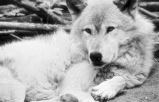 ¿Te acuerdas? - Félix Rodríguez de la Fuente ayudó a cambiar nuestra visión de los lobos