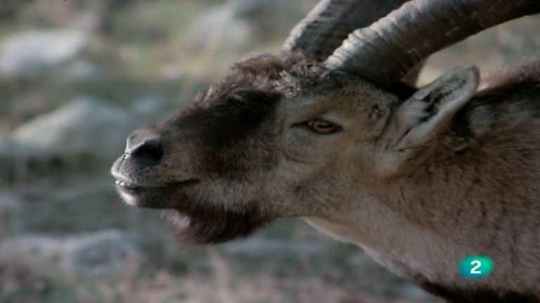 El hombre y la Tierra (Fauna ibérica) - El macho montés 2