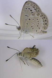 Ejemplar adulto y sano de Zizeerua maha (arriba) frente a un ejemplar mutado de la misma especie (abajo)